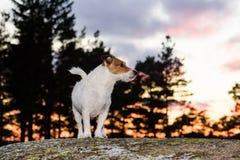 Hond die alleen van leiband bij avondbos lopen Royalty-vrije Stock Foto