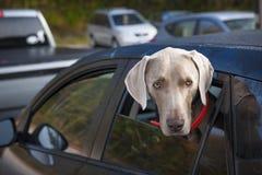 Hond die in auto wachten stock foto's