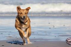 Hond die bal op strand achtervolgen Stock Foto's