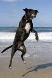 Hond die bal vangt bij strand Royalty-vrije Stock Foto's
