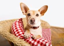Hond die in bed met deken rusten stock afbeelding
