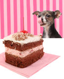 Hond die bij de cake van de kersenchocolade staart Royalty-vrije Stock Fotografie