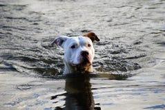 Hond die bij Schemer zwemt Royalty-vrije Stock Fotografie