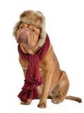 Hond die bont GLB met oorkleppen en een sjaal draagt Stock Afbeeldingen