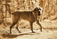 Hond die in boomgaard, sepia lopen Royalty-vrije Stock Afbeelding