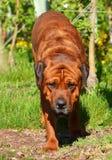 Hond die in boomgaard in zonlicht, kleur lopen Stock Fotografie