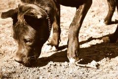 Hond die in boomgaard in zonlicht snuiven, bruine filter Stock Afbeeldingen