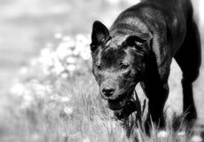 Hond die in boomgaard in zwart-wit zonlicht lopen, Royalty-vrije Stock Afbeeldingen