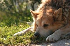 Hond die bored? kijkt Stock Foto's