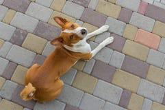 Hond die boven het liggen op een straatbestrating kijken Royalty-vrije Stock Afbeeldingen