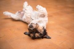 Hond die bovenkant - neer op rug leggen Ongehoorzaam Jack Russell Terrier van een hond stock foto