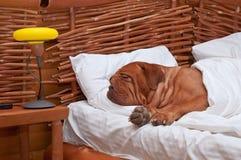 Hond die comfortabel in bed met witte bladen slaapt Stock Afbeeldingen