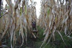Hond die, cornfield lopen royalty-vrije stock foto's