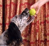 Hond die de bal neemt Stock Afbeelding