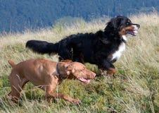 Hond die in de berg van Gemba, de Oekraïne rennen Stock Foto