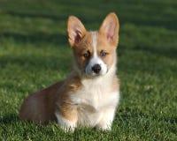 Hond die de camera bekijken Royalty-vrije Stock Foto's