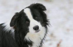 Hond die de camera bekijken Stock Fotografie