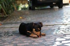 Hond die de Grond likken Royalty-vrije Stock Afbeeldingen