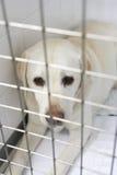 Hond die in de Kennels van de Dierenarts terugkrijgt Royalty-vrije Stock Afbeelding