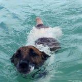 Hond die in de oceaan bij pootpark zwemmen in sarasotafl! Het grappige en leuke hond zwemmen Stock Foto
