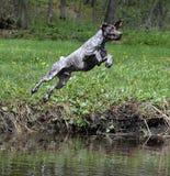 Hond die in de rivier springen Stock Foto's