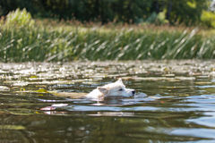 Hond die in de rivier zwemmen Royalty-vrije Stock Foto