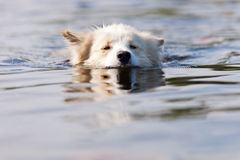 Hond die in de rivier zwemmen stock foto's