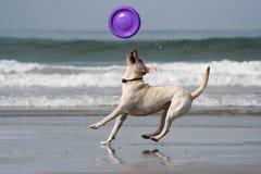 Hond die de schijf vangt Stock Foto