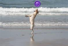 Hond die de schijf vangt Royalty-vrije Stock Fotografie