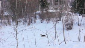 Hond die in de sneeuw loopt stock videobeelden