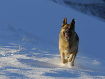 Hond die de sneeuw oplegt Stock Foto's