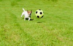 Hond die de speelvoetbal van de voetbalbal op groen grasgazon achtervolgen Stock Foto's