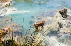 Hond die in de Thermische lentes Saturnia zwemmen stock afbeeldingen