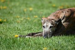 Hond die in de weide liggen stock fotografie