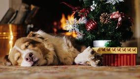 Hond die dichtbij een Kerstboom met een gift dutten brandende open haard op de achtergrond Concept: warmte en gelukkige Kerstmis stock videobeelden