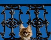 Hond die door balkonomheining gluren - Frans Kwart - New Orleans Royalty-vrije Stock Foto's