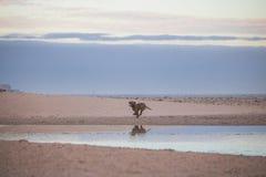 Hond die door de waterkant op het strand van Paarden Eiland bij zonsopgang lopen Stock Foto