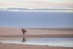 Hond die door de waterkant op het strand van Paarden Eiland bij zonsopgang lopen Royalty-vrije Stock Foto's