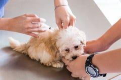 Hond die door een dierenarts worden ingeënt Royalty-vrije Stock Fotografie