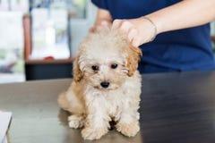 Hond die door een dierenarts worden onderzocht Stock Afbeelding