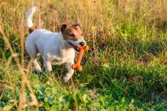 Hond die door voetpad bij de zomerweide lopen met stuk speelgoed been Stock Fotografie