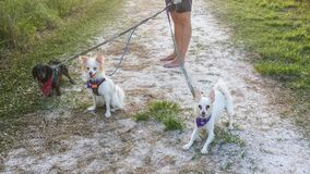 Hond die Drie Honden op Gang lopen Stock Afbeelding