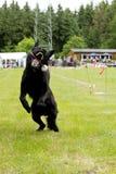 Hond die een bal op een stok springt te vangen Royalty-vrije Stock Afbeeldingen