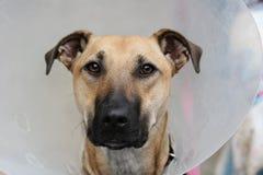 Hond die een brekerkraag draagt Stock Afbeelding