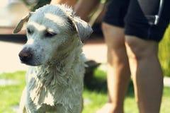 Hond die een douche nemen Stock Foto's