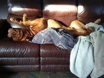 hond die een dutje nemen Stock Afbeelding