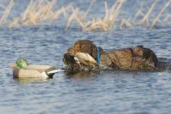 Hond die een eend terugwint stock foto