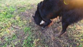 Hond die een gat in de tuin graven stock footage