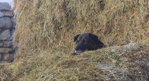 Hond die in een hooiberg liggen royalty-vrije stock afbeeldingen