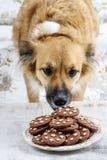 Hond die een koekje stelen stock foto